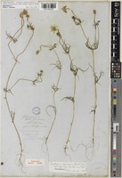 Holotype of Hymenoxys californica Hook. [family ASTERACEAE]