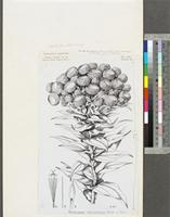 Helichrysum cameroonense Hutch. & Dalziel; original illustration from FWTA