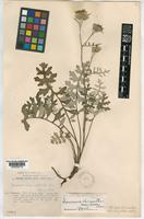 Type of Saussurea chrysanthemumoides Chen [family COMPOSITAE]