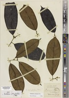 Lectotype of Antidesma pachyphyllum Merr. [family PHYLLANTHACEAE]