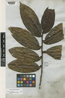 Isotype of Freziera angulosa Tul. [family THEACEAE]
