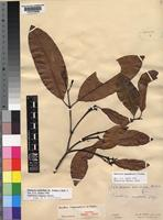 Isotype of Hunteria mayumbensis Pichon [family APOCYNACEAE]