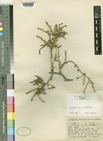 Holotype of Salsola ceresica Botsch. [family CHENOPODIACEAE]