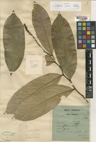 Holotype of Galearia fusca Ridl. [family PANDACEAE]