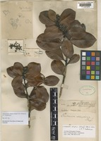 Holotype of Tristania elliptica Stapf [family MYRTACEAE]