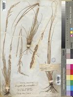 Type of Eragrostis gummiflua Nees [family POACEAE]