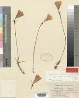 Holotype of Cyrtanthus sanguineus (Lindl.)Walp. subsp. minor I.Nordal [family AMARYLLIDACEAE]