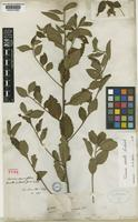 Lectotype of Turnera parviflora Benth. [family TURNERACEAE]