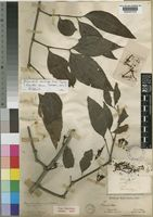 Holotype of Loranthus opacus Sprague [family LORANTHACEAE]