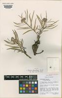 Holotype of Asclepias breviantherae Goyder [family ASCLEPIADACEAE]