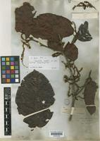 Type of Coccoloba parimensis Benth. [family POLYGONACEAE]