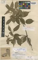 Isotype of Acer sycopseoides Chun [family ACERACEAE]