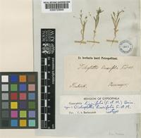 Isotype of Gypsophila linearifolia (Fisch. & C.A. Mey.) Boiss [family CARYOPHYLLACEAE]