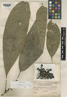 Isotype of Barringtonia balabacensis Merr. [family LECYTHIDACEAE]