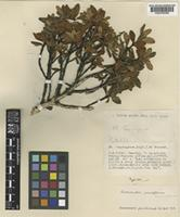 Type of Rhododendron tsarongense Balf.f. & Forrest [family ERICACEAE]