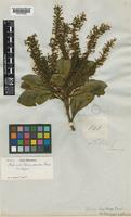 Isotype of Helicia loranthoides C.Presl [family PROTEACEAE]