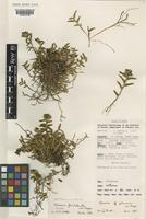 Isotype of Glomera flexilabrata P.Royen [family ORCHIDACEAE]