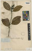 Type of Psychotria choriophylla Standl. [family RUBIACEAE]