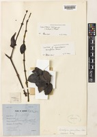 Isotype of Lepeostegeres parviflorus Danser [family LORANTHACEAE]