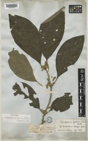 Holotype of Gomphostemma javanicum (Bl.) Benth. [family LAMIACEAE]