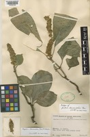 Isotype of Isoglossa collina (T.Anderson) B.Hansen [family ACANTHACEAE]