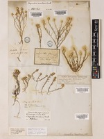 Type of Cassinia aurea R. Br. [family COMPOSITAE]