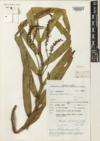 Holotype of Robiquetia pinosukensis J.J.Wood & A.L.Lamb [family ORCHIDACEAE]