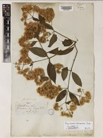 Baccharis trinervis (Lam.) Pers. [family COMPOSITAE]
