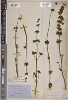 Isolectotype of Pityrodia loxocarpa (F.Muell.) Druce [family LAMIACEAE]