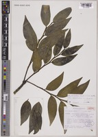 Isotype of Phyllanthus bupleuroides Baill. var. meoriensis M.Schmid [family PHYLLANTHACEAE]