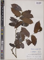 Type of Glochidion monostylum Airy Shaw [family PHYLLANTHACEAE]