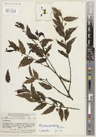 Holotype of Glochidion pleiosepalum Airy Shaw [family PHYLLANTHACEAE]