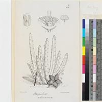 Stapelia olivacea N. E. Brown published illustration from Curtis's Botanical Magazine