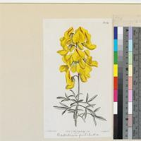 Crotalaria pulchella published illustration from Curtis's Botanical Magazine
