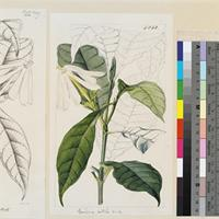 Gardenia nitida original illustration from Curtis's Botanical Magazine
