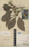 Holotype of Sideroxylon burmanicum Collett & Hemsl. [family SAPOTACEAE]