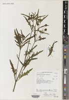 Isotype of Sigesbeckia fugax Pedley [family COMPOSITAE]