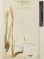 Holotype of Stipa chitralensis Bor. [family POACEAE]