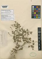 Isolectotype of Paullinia sonorensis S.Watson [family SAPINDACEAE]