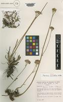 Isotype of Vernonia carvalhoi H.Rob. [family COMPOSITAE]