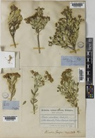 Type of Olearia moschata Hook.f. [family COMPOSITAE]