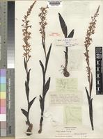Holotype of Disa dichroa Summerh. [family ORCHIDACEAE]