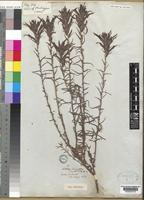 Lectotype of Castilleja tenuiflora Benth. [family SCROPHULARIACEAE]
