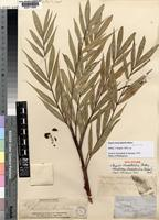 Holotype of Dypsis rhodotricha Baker [family PALMAE]