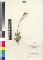 Isotype of Goodenia lineata J.H.Willis [family GOODENIACEAE]