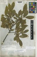 Holotype of Freziera integrifolia Benth. [family THEACEAE]