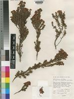 Isotype of Erica obconica H.A.Baker [family ERICACEAE]