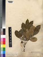Syntype of Acokanthera longiflora Stapf [family APOCYNACEAE]