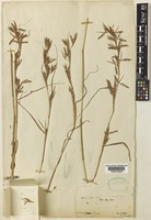 Syntype of Andropogon nardus L. var. stracheyi Hook. f. [family POACEAE]