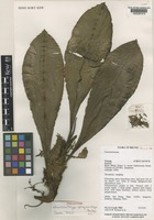 Holotype of Amischotolype sphagnorrhiza E.J.Cowley [family COMMELINACEAE]